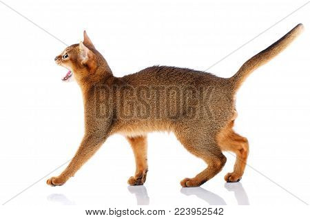 Side Portrait Redhead abyssyn cat on a white background. Thoroughbred bred cat.