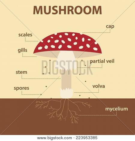 vector diagram showing parts of mushroom whole plant - agricultural infographic amanita muscaria scheme with labels for education of biology