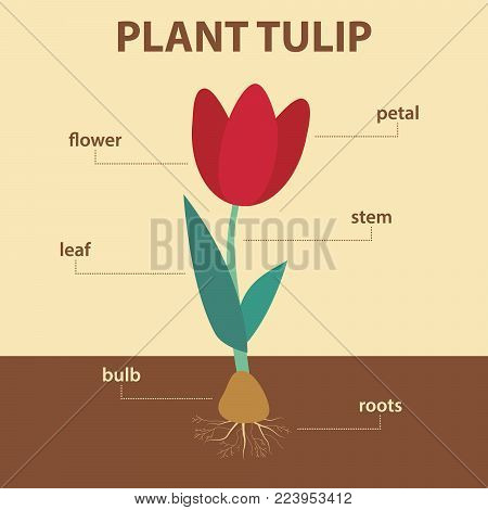 vector diagram showing parts of tulip whole plant - agricultural infographic scheme with labels for education of biology - flower, leaf, stem, roots system, bulb