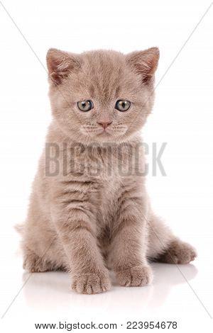 Portrait of Scottish kitten. Playful cat on white. Close-up portrait of Scottish cat that