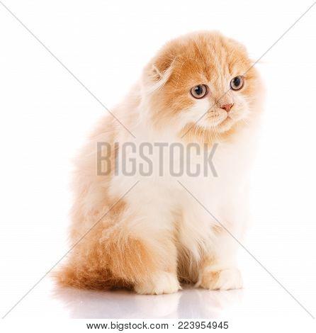 Animal, cat, pet concept - scottish fold cat on a white background. Adorable Scottish Fold cat isolated on white background