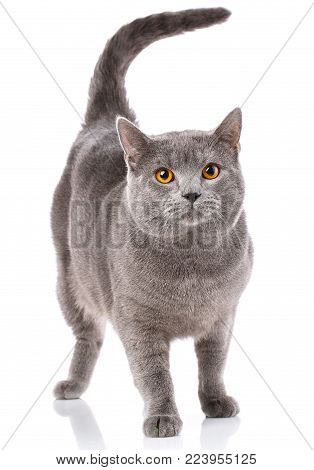 Chartreux cat, standing in front on white background