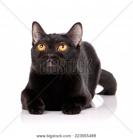 Bombay black cat with yellow eyes lying on a white background, looking up