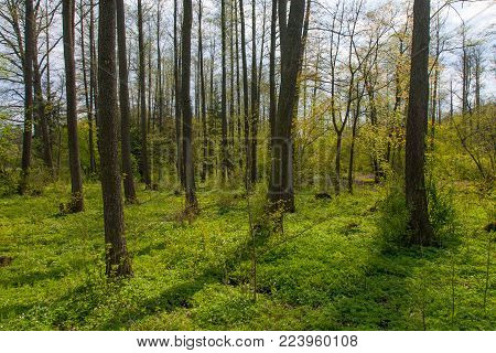 Natural Riparian Stand In Springtime With Fresh Lush Foliage In Sun, Bialowieza Forest, Poland, Euro