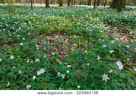 Springtime Windflowers Floral Bed In Deciduous Forest, European Temperate Forest, Bialowieza, Poland