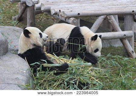 Panda chewing bamboo these pandas are endangered due to habitat loss. they are a national symbol of china and the chinese government has been taking steps in conservation.