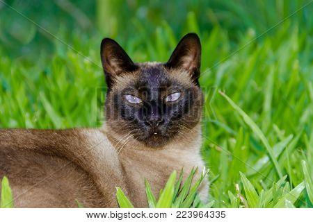 beautiful siamese cat sitting on the green grass