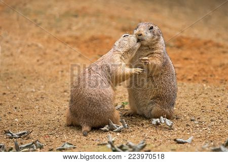 Two prairie dogs play and share their food