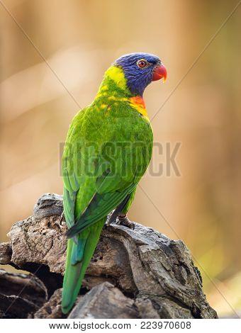 Portrait of rainbow lorikeet posing on a tree