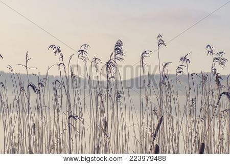 Rushes by a misty lake in the morning sun with a forest in the background