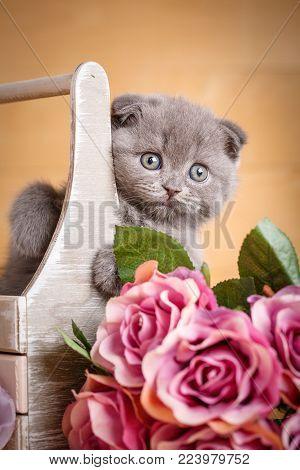 Scottish Kitten. Cat At Home. Scottish Fold Cat. Siting In Box Cat. Playful Gray Color Scottish Fold