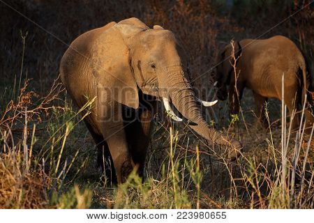 African elephant (Loxodonta africana) feeding, Kruger National Park, South Africa