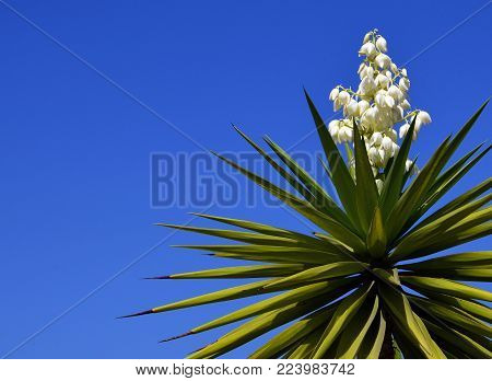 Blooming Yucca plant on a blue sky background.Spanish bayonet tree. Joshua tree.Yucca aloifolia.Vibrant background with copy space.