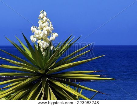 Blooming Yucca plant on a blue sky and ocean background.Spanish bayonet tree. Joshua tree.Yucca aloifolia.Vibrant background with copy space.