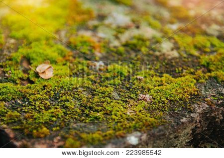 A close-up view of a moss with a backdrop of light.Moss texture background.Nature spring concept. Flat lay.