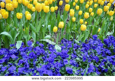 Flowerbed of yellow tulips and blue pansies
