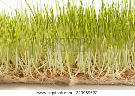 Fresh micro greens closeup isolated at white background. Growing wheat sprouts for healthy salad. Eating right, stay young and modern restaurant cuisine concept