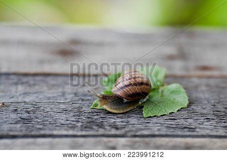 urgundy snail (Helix, Roman snail, edible snail, escargot) on wooden background