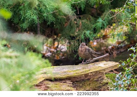 Small Brown Bird Placed On The Stone, In The Autumn Forest.