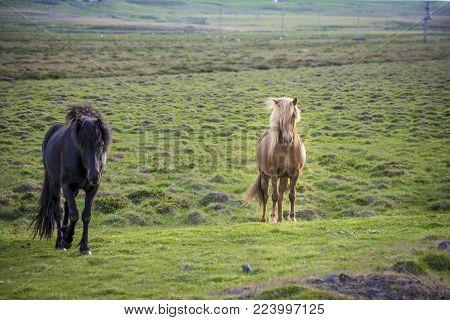 2 icelandic horses staring. Icelandic horse is endemic to the region of Iceland.