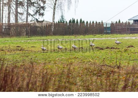 Ducks on the meadow with trees in the background. Agriculture and animal theme