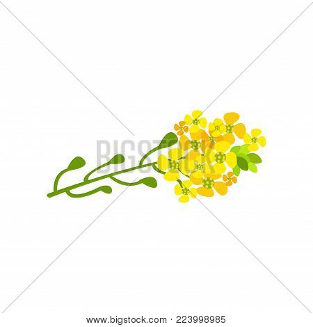 Rapeseed flowers cartoon vector Illustration on a white background