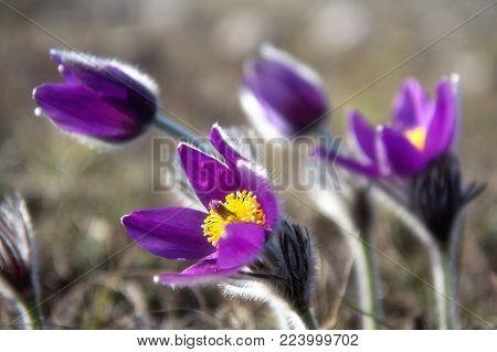 Wild Pasque flower, Pulsatilla vulgaris, first spring flower