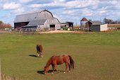 Two horses grazing with barn in horizon. poster