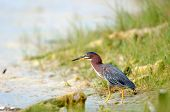 A green heron looks for a meal along the shore of a Florida swamp poster
