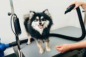 Pomeranian spitz in dog salon. Female hands using hair dryer on cute dog in salon. poster