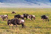Closed world Ngorongoro. Herd of wildebeest. Tanzania, Africa poster