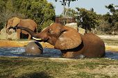 an elephant playing in a pool at a miami zoo poster