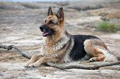 wet German Shepherd laying on the sand poster