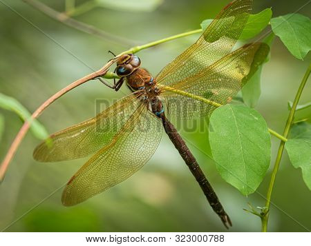 A Brown Hawker Dragonfly (aeshna Grandis) Resting On A Bush In South Tyrol (italy)