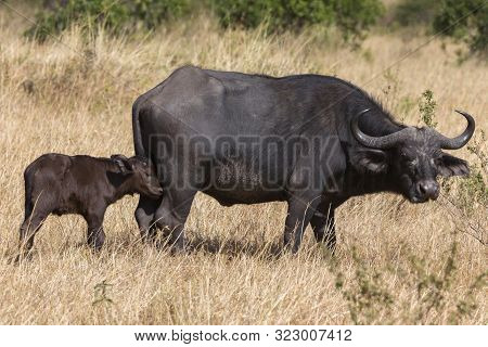 Cape Buffalo With Calf, Syncerus Caffer At Masaimara In Africa