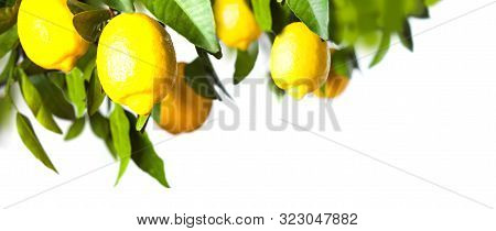 Lemon Tree With Green Leaves, Branch Isolated