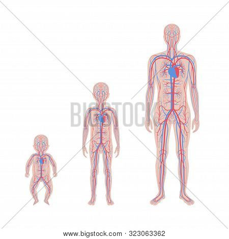 Vector Isolated Illustration Of Human Arterial And Venous Circulatory System Anatomy In Man, Boy, Ba