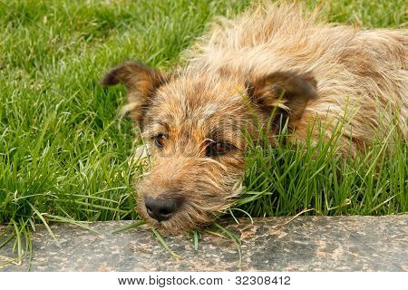 Strolling dog lying on green grass resting head on a marble slab poster