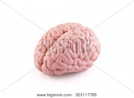 Human brain model isolated on white background with clipping path