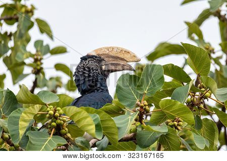 Big bird, Silvery-cheeked Hornbill, Bycanistes brevis, sits and feeding berries on tree, Ethiopia, Africa Wildlife poster