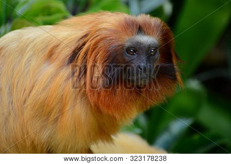 Golden Lion Tamarins Are Only Found In The Lowland Forests Of Brazil. In The Wild, They Will Live Fo