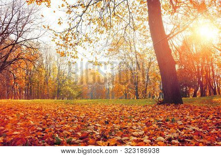 Fall sunny landscape. Fall park trees and falling autumn leaves on the ground in the fall park in sunny fall October evening