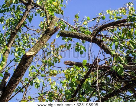 Apricot Tree With Clipped Branches And Green-yellow Leaves Against A Blue Sky. Sawed Off Tree Branch