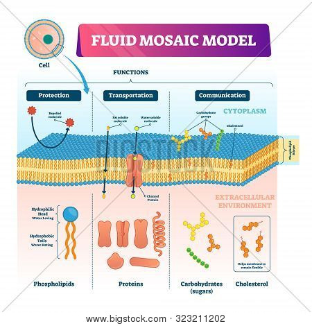 Fluid Mosaic Model Vector Illustration. Labeled Cell Membrane Structure Infographic. Educational Sch