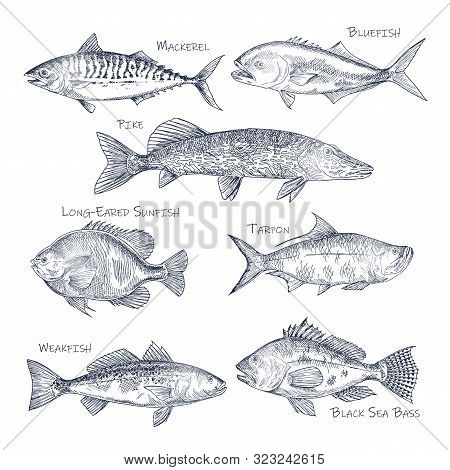 Side View On Ocean And Sea Fish Sketch. Set Of Isolated Bluefish And Mackerel, Pike And Long-eared S