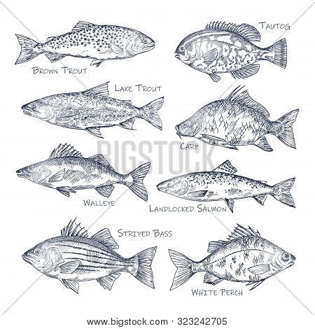 Side View On Ocean And Sea, River Fish Sketch. Set Of Isolated Brown And Lake Trout, Common Carp And
