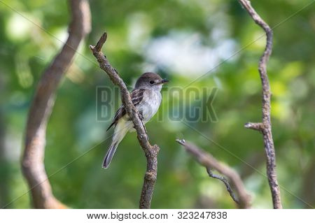A Willow Flycatcher (empidonax Traillii) Is A Small Insect-eating, Neotropical Migrant Bird Of The T