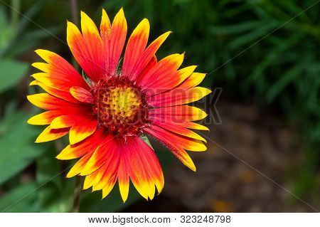 Gaillardia Pulchella (firewheel, Indian Blanket, Indian Blanketflower, Or Sundance) Flower In The Su