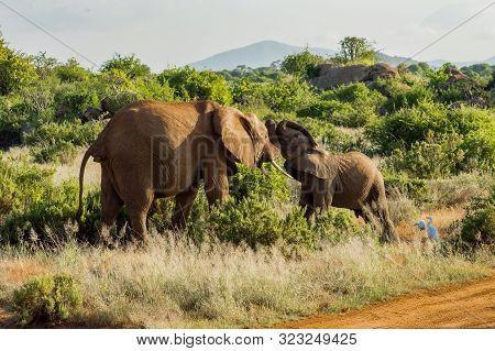 Games Between Two Elephants In The Savannah Of Samburu Park In Central Kenya In Africa
