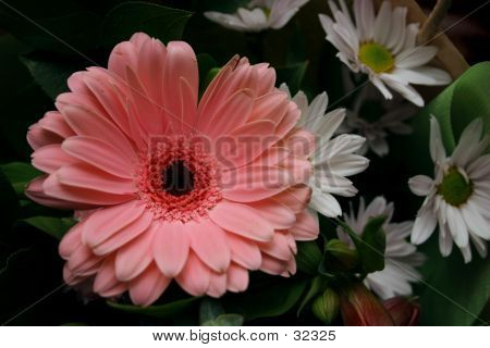 Gerbra With Daisies